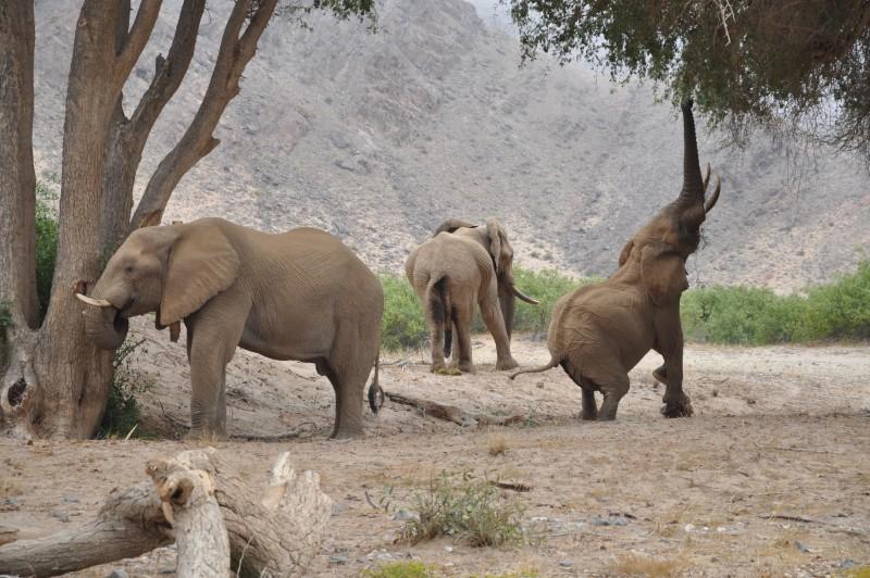 Kaokofeld Elephant