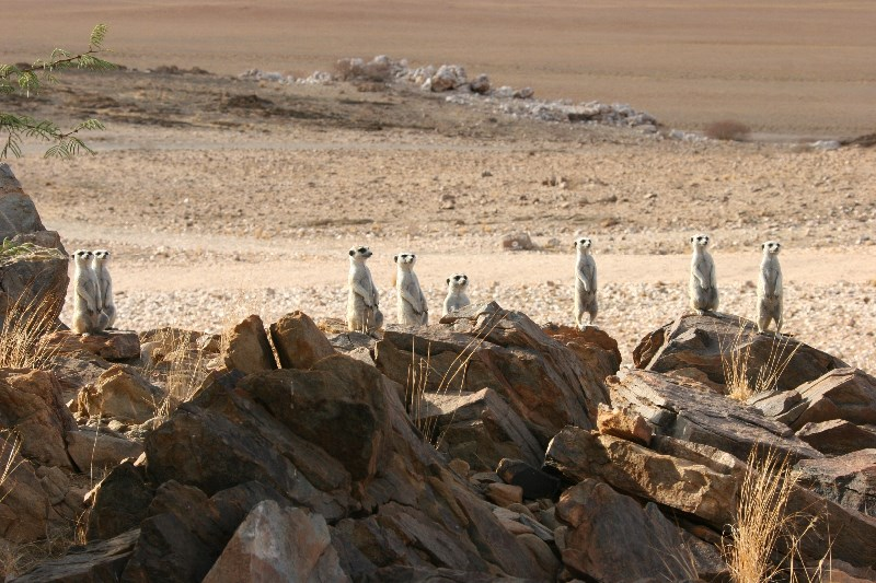 Meerkats <p>Our meerkat family</p>