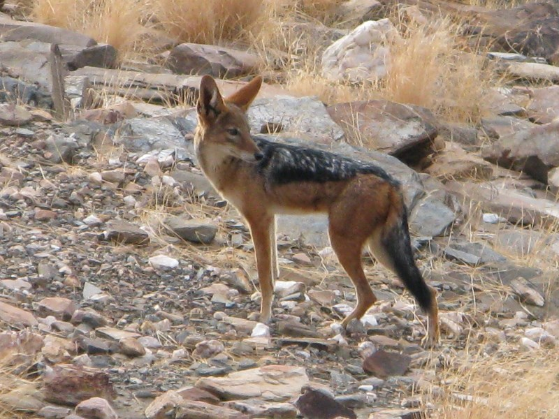 Jackal <p>Jackal in the desert</p>